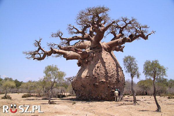 Ile litrów wody może zgromadzić w sobie Baobab?