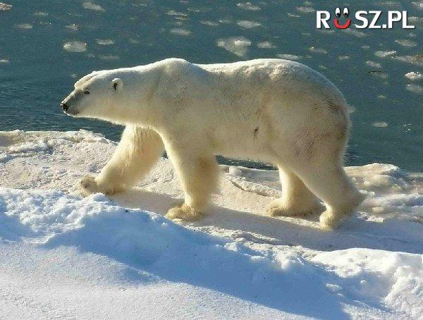 Z jaką prędkością może biegać niedźwiedź polarny ?