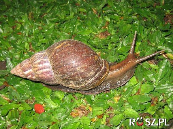 Ile długości ma muszla największego ślimaka na świecie ?