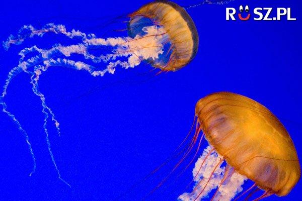 Ile waży największa meduza ?