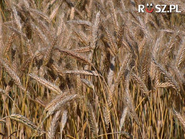 Pszenżyto powstało z połączenia ilu zbóż?