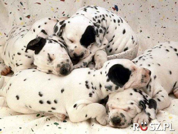 Ile jest psów?