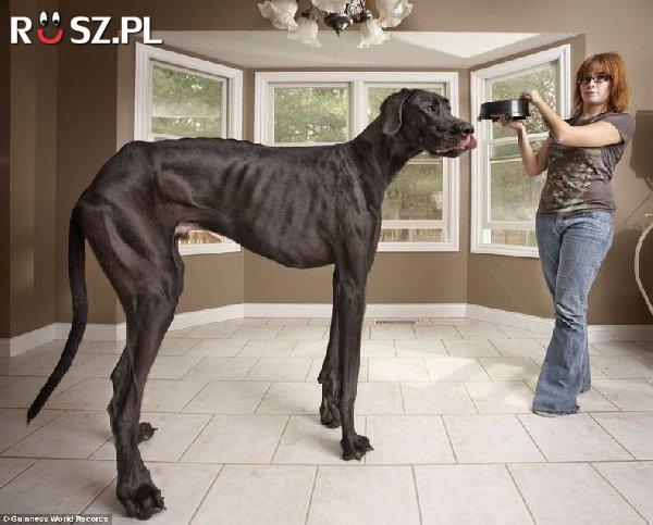 Ile mierzy największy pies na świecie?