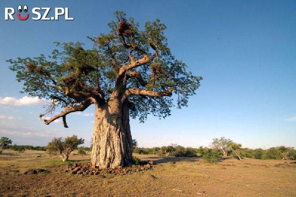 Około ilu metrów obwodu mogą mieć baobaby ?