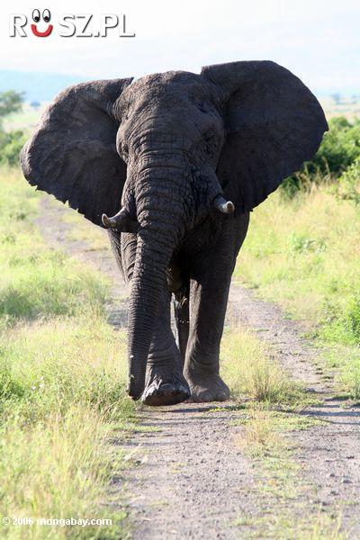 Ile lat żyje słoń afrykański?