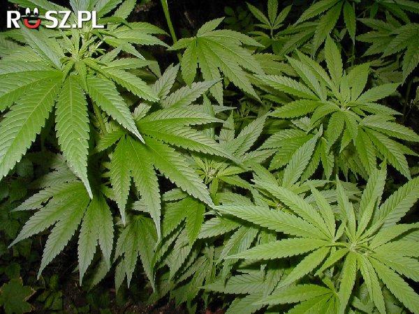 Ile marihuany trzeba by było spożyć aby przedawkować ?
