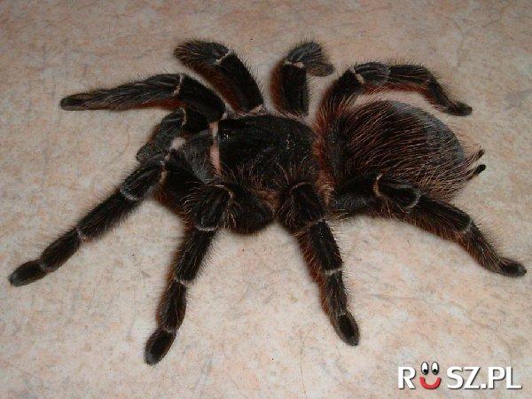 Ile centymetrów osiąga największy pająk na świecie?
