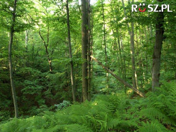 Jaki % wszystkich lasów na Ziemi rośnie w Rosji ?