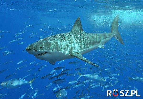 Do ilu lat mogą żyć żarłacze białe ?