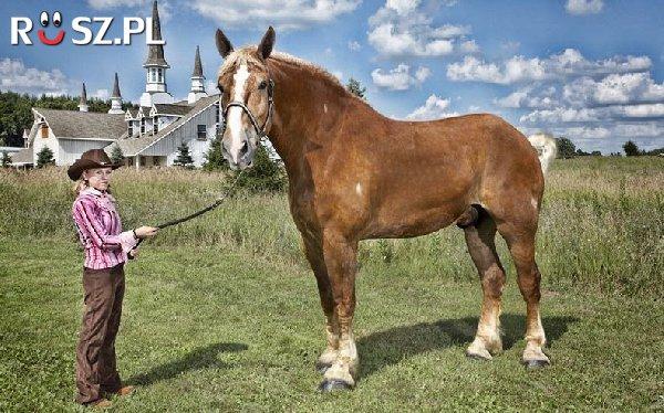 Ile mierzył najwyższy koń świata?