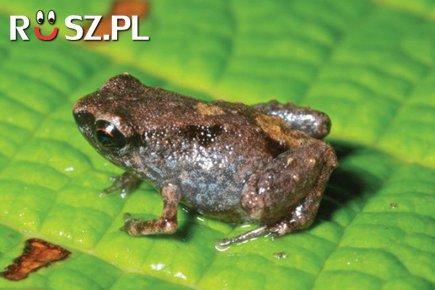 Ile mierzy najmniejsza żaba na świecie ?