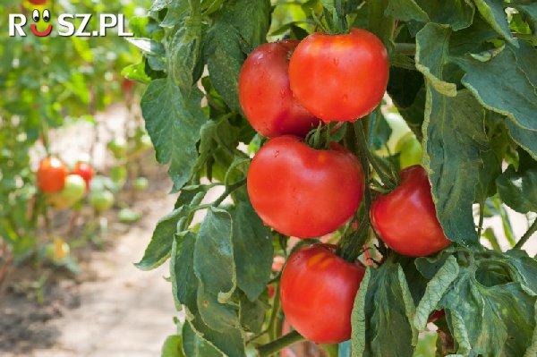 Ile odmian pomidorów występuje ?