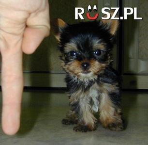 Ile centymetrów mierzył najmniejszy pies świata?