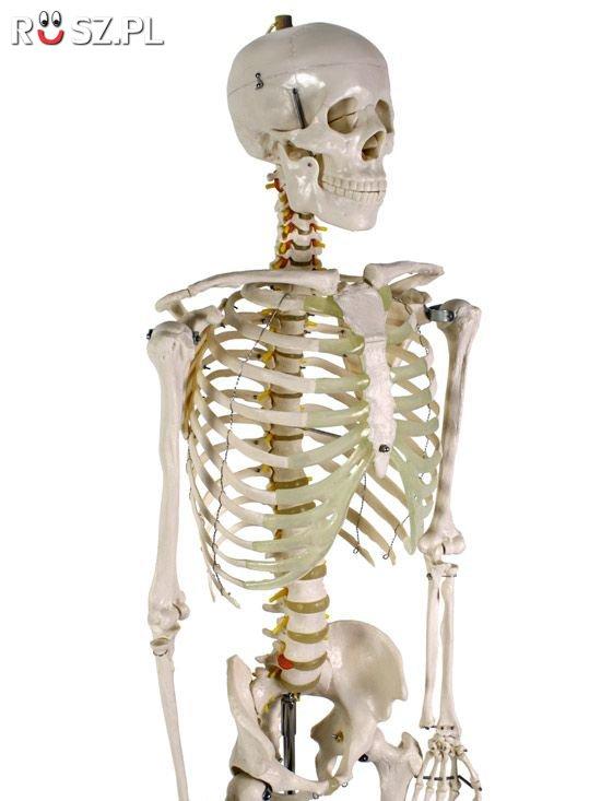 Ile kości ma człowiek?