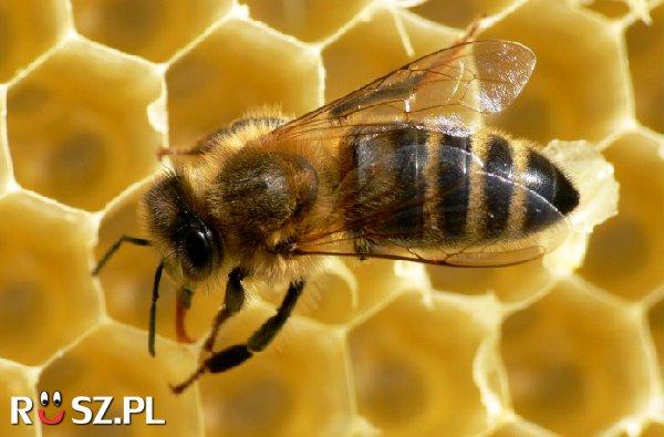 Ile razy może użądlić pszczołą ?